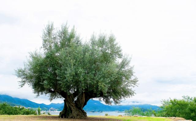 オリーブオイル,カラマタ